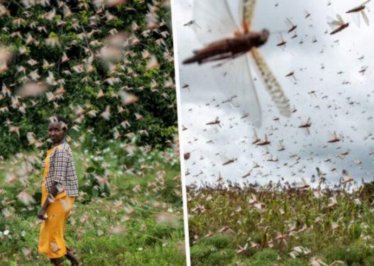 Miliona karkaleca shkatërrojnë Afrikën Lindore, shpërthimi më i madh në 70 vjet