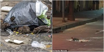 Efektet e Koronavirusit/ Mijëra minj pushtojnë shtëpitë dhe qendrat urbane