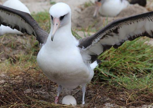 Është Albatrosi më i moshuar në botë, Wisdom çel zoçkën në moshën 70-vjeçare