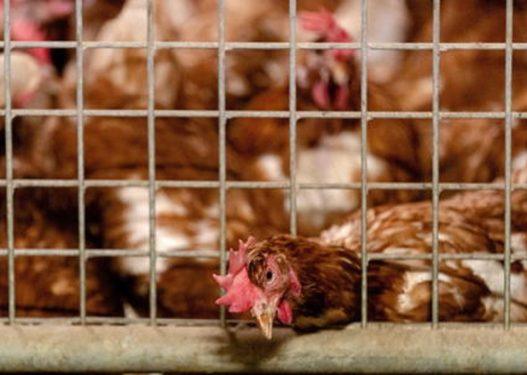 Gripi i shpendëve, asgjësohen 10 ferma pulash